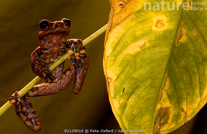 Strawberry tree frog {Hyla pantosticta} Ecuador, AMPHIBIANS, Anura, FROGS, TREE-FROGS, tropical-rainforest, VERTEBRATES, Pete Oxford