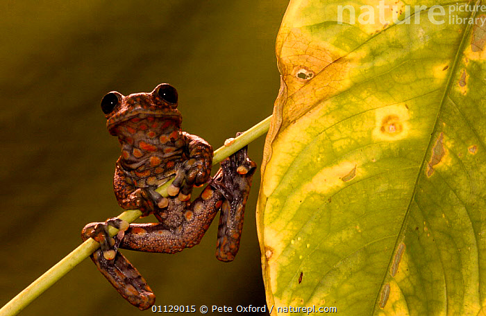 Strawberry tree frog {Hyla pantosticta} Ecuador  ,  AMPHIBIANS, Anura, FROGS, TREE-FROGS, tropical-rainforest, VERTEBRATES  ,  Pete Oxford