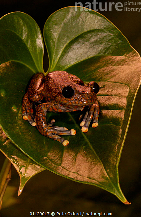 Strawberry tree frog {Hyla pantosticta} Ecuador  ,  AMPHIBIANS, Anura, FROGS, TREE-FROGS, tropical-rainforest, VERTEBRATES, VERTICAL  ,  Pete Oxford