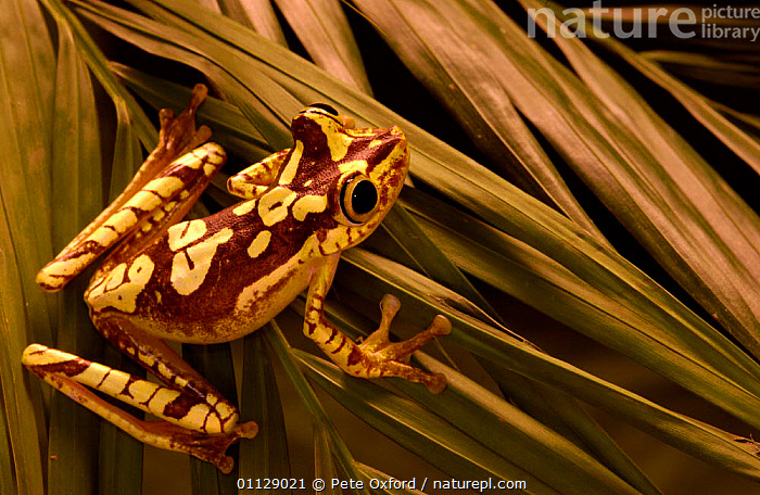 Chachi tree frog {Hyla picturata} Choco forest, Ecuador, AMPHIBIANS, Anura, FROGS, HABITAT, TREE-FROGS, VERTEBRATES, Pete Oxford