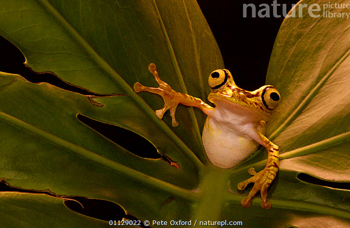 Chachi tree frog {Hyla picturata} Choco forest, Ecuador, AMPHIBIANS, Anura, EYES, FROGS, HUMOROUS, TREE-FROGS, VERTEBRATES,Concepts, Pete Oxford