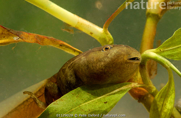 Marsupial frog tadpole {Gastrotheca sp} Ecuador, SOUTH AMERICA,TAILS,TROPICAL RAINFOREST,UNDERWATER,AMPHIBIANS,BABIES,FROGS,FRESHWATER,LIFE CYCLE,Anura, Pete Oxford