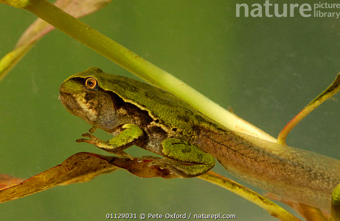 Marsupial froglet climbing up leaf {Gastrotheca sp} Ecuador, SOUTH AMERICA,TAILS,TADPOLE,TROPICAL RAINFOREST,AMPHIBIANS,BABIES,FROGS,LIFE CYCLE,LEGS,INTERESTING,GROWTH,MOVEMENT,Concepts,Anura, Pete Oxford