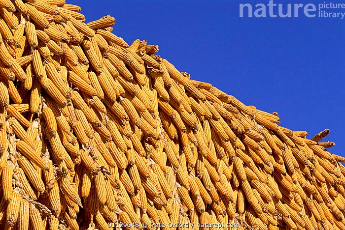 Corn / maize cobs drying, Yunnan, China, ASIA,EDIBLE,CROPS,COB,PLANTS,LANDSCAPES,CHINA, Pete Oxford