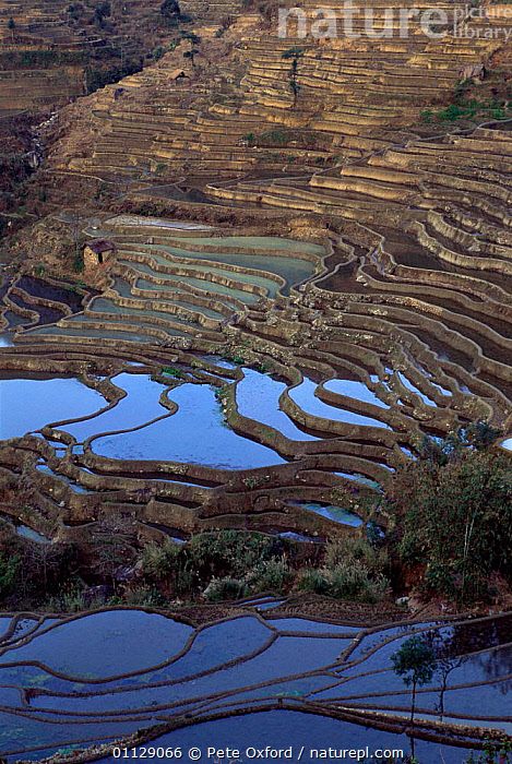 Yuanyang grand terraces, 3000 yr-old built by Hani people, Yunnan, China, ASIA,FIELDS,PADDY FIELDS,VERTICAL,TRIBES,LANDSCAPES,RICE,WETLANDS,TERRACED,CHINA, Pete Oxford