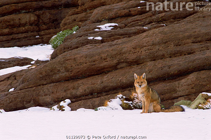 Culpeo / Andean red fox {Pseudolopex culpaeus} Altiplano, Bolivia, CARNIVORES,ANDES,FOXES,SNOW,WINTER,MAMMALS,SOUTH AMERICA,Dogs,Canids, Pete Oxford