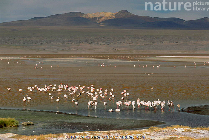 James's flamingos drinking in freshwater stream, Lake Colorado, Bolivia  ,  FLOCKS,GROUPS,BIRDS,ANDES,WADING BIRDS,LAKES,JAMES,SOUTH AMERICA  ,  Pete Oxford