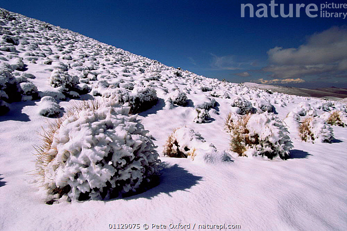 Snow covered grass tussocks, Altiplano, Bolivia  ,  WINTER,ANDES,GRASSES,LANDSCAPES,SOUTH-AMERICA  ,  Pete Oxford