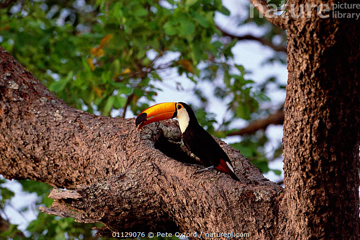 Toco toucan at nest hole {Ramphastos toco} Cerrado, Brazil  ,  SOUTH AMERICA,BIRDS,BRAZIL,NESTS,TREES,TOUCANS,Plants  ,  Pete Oxford