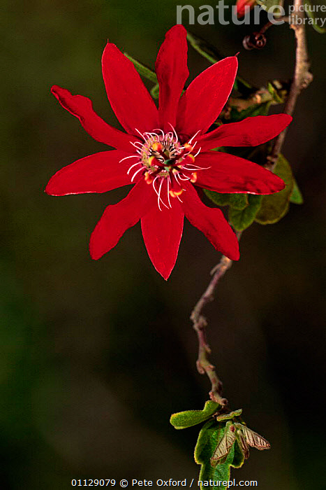 Woody passion fruit flower {Passiflora sp} Caatinga habitat, Brazil  ,  SP,SOUTH AMERICA,PETALS,PLANTS,RED,FLOWERS,PORTRAITS  ,  Pete Oxford