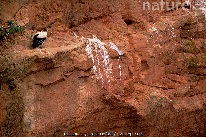 King vulture at roost site {Sarcorhamphus papa} Caatinga, Brazil, BIRDS,CLIFFS,HABITAT,VULTURES,SOUTH AMERICA,GEOLOGY, Pete Oxford