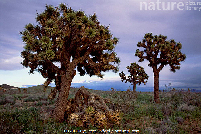 Joshua tree with fallen branch {Yucca brevifolia} Mojave desert, California, USA.  ,  BRANCHES,DESERTS,LANDSCAPES,USA,WEIGHT,NORTH AMERICA,YUCCAS,TREES,Plants  ,  Pete Oxford