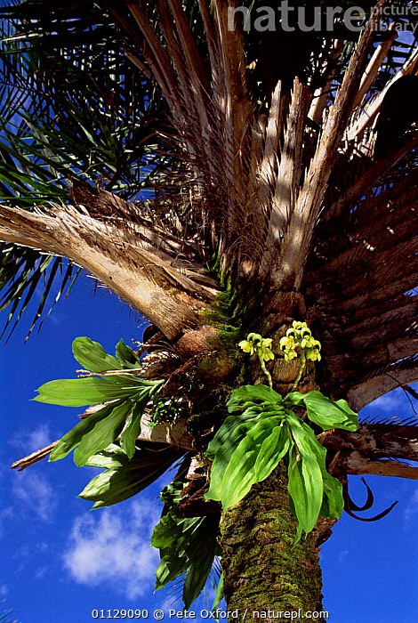 Orchid growing in Licuri palm tree, Caatinga habitat, Brazil, MIXED SPECIES,VERTICAL,LANDSCAPES,PLANTS,SOUTH-AMERICA, Pete Oxford