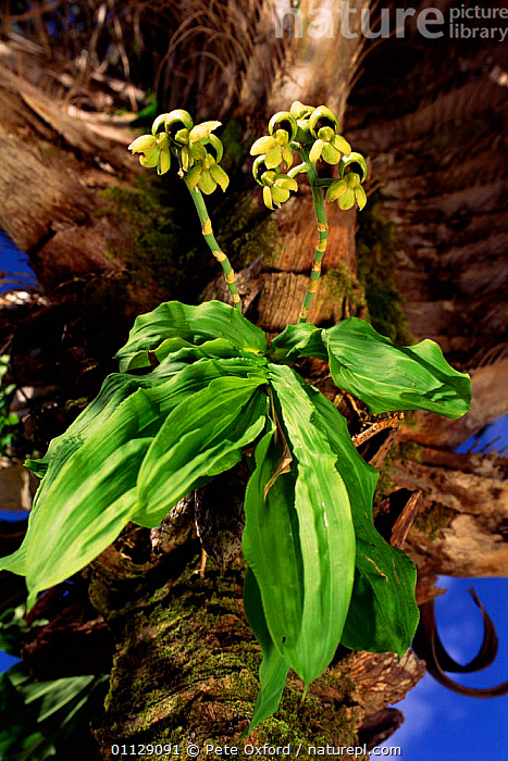 Orchid growing in Licuri palm tree, Caatinga habitat, Brazil, MIXED SPECIES,PLANTS,LANDSCAPES,VERTICAL,FLOWERS,SOUTH-AMERICA, Pete Oxford