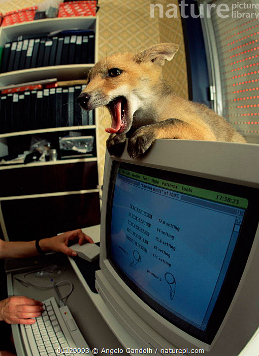 Red fox {Vulpes vulpes} with computer in office, UK.  ,  TAME,UK,URBAN,VERTICAL,YAWNING,PETS,MAMMALS,HUMOROUS,COMPUTERS,DOMESTIC,FOXES,EUROPE,CARNIVORES,United Kingdom,Concepts,British,Dogs,Canids  ,  Angelo Gandolfi