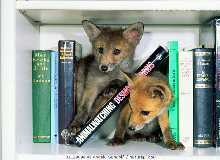 Red fox cubs {Vulpes vulpes} amongst books on bookshelf, UK. Orphan animals.  ,  CARNIVORES,BABIES,EUROPE,FOXES,DOMESTIC,HUMOROUS,MAMMALS,PETS,PLAYFUL,UK,TWO,United Kingdom,Concepts,British,Dogs,Canids  ,  Angelo Gandolfi