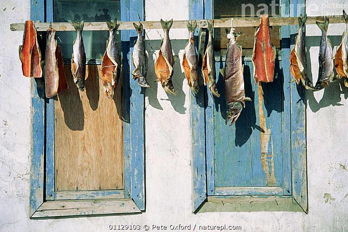Drying fish outside house, Chukchi eskimos, Yanrakynnot, E Siberia, Russia  ,  TRADITIONAL,TRIBES,UMIAKS,EAST,COASTS,ASIA,ARCTIC,BUILDINGS,FOOD,FISHING,CIS  ,  Pete Oxford