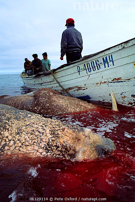Yupik eskimos with hunted Pacific walrus, Uelen, Siberia, Russia  ,  ARCTIC,BUTCHERING,MAMMALS,HUNTING FOOD,DEATH,BLOOD,FISHING,ASIA,PINNIPEDS,TRADITIONAL,LANDSCAPES,PEOPLE,WALRUSES,TRIBES,VERTICAL,CIS, CARNIVORES , CARNIVORES  ,  Pete Oxford