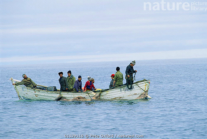 Yupik eskimos hunting Walrus, Uelen, E Siberia, Russia  ,  FISHING,MARINE,HUNTING FOOD,PINNIPEDS,MAMMALS,LANDSCAPES,PEOPLE,ASIA,BOATS,COASTS,TRADITIONAL,SEA,TRIBES,CIS, CARNIVORES , CARNIVORES , CARNIVORES  ,  Pete Oxford