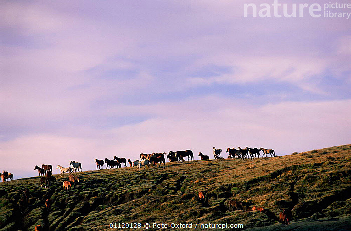 Ranch horses, Andes, Ecuador  ,  MAMMALS,PERISSODACTYLA,GROUPS,LANDSCAPES,DOMESTIC  ,  Pete Oxford