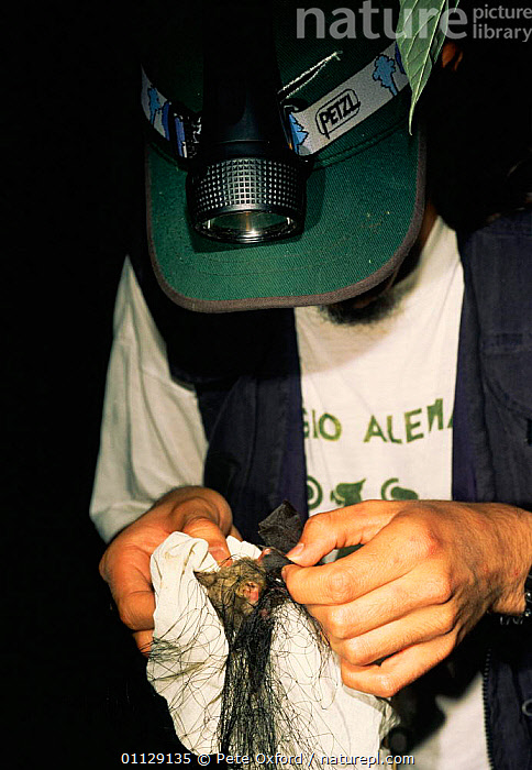 Researcher mist netting bats in Mindo cloud forest, Ecuador, CATCHING,CLOUDFOREST,CHIROPTERA,PEOPLE,MAMMALS,NIGHT,RESEARCH,VERTICAL, Pete Oxford