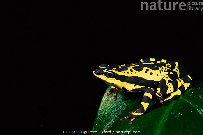 Harlequin frog {Atelopus sp} Amazonia, Ecuador  ,  AMPHIBIANS,COLOURFUL,FROGS,SOUTH AMERICA,SP,TROPICAL RAINFOREST  ,  Pete Oxford
