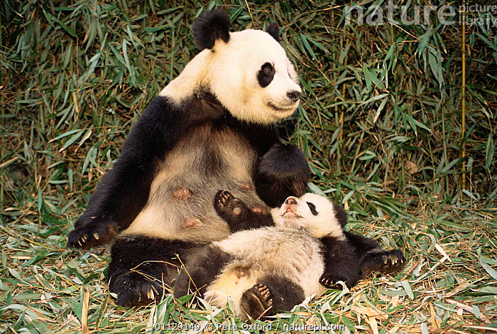 Giant panda with cub {Ailuropoda melanoleuca} Wolong valley, China, MAMMALS,RESERVE,ASIA,BABY,BABIES,CARNIVORES,ENDANGERED,CUTE,FAMILIES,PANDAS,MOTHER, Pete Oxford