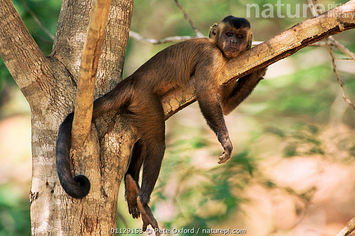 Brown capped capuchin monkey resting in tree {Cebus apella} Cerrado, Brazil, SOUTH AMERICA,CAPUCHINS,PRIMATES,MAMMALS,Monkeys, Pete Oxford