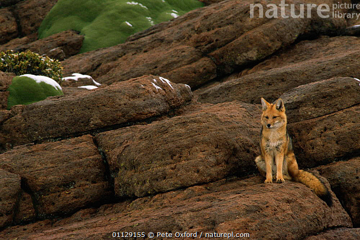 Culpeo / Andean red fox {Pseudolopex culpaeus} Altiplano, Bolivia  ,  CARNIVORES,ANDES,FOXES,MAMMALS,SOUTH AMERICA,Dogs,Canids  ,  Pete Oxford