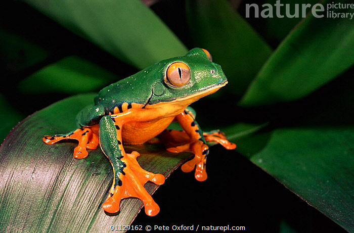 Leaf frog {Agalychnis calcarifer} Ecuador, AMPHIBIANS, COLOURFUL, VERTEBRATES, Anura, FROGS, TREE-FROGS, tropical-rainforest, Pete Oxford