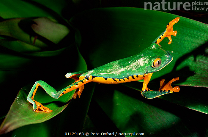 Leaf frog walking across leaves {Agalychnis calcarifer} Ecuador  ,  AMPHIBIANS, Anura, COLOURFUL, FROGS, MOVEMENT, TREE-FROGS, tropical-rainforest, VERTEBRATES, BEHAVIOUR  ,  Pete Oxford