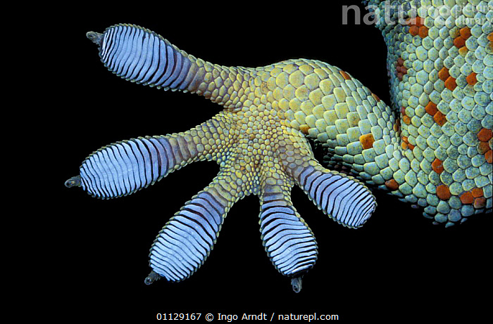 Close up foot of Tokay gecko {Gekko gecko}, GECKOS,TOES,SUCKERS,REPTILES,FEET,DIGITS,CLOSE UPS,CAPTIVE,Lizards, Geckos, Ingo Arndt