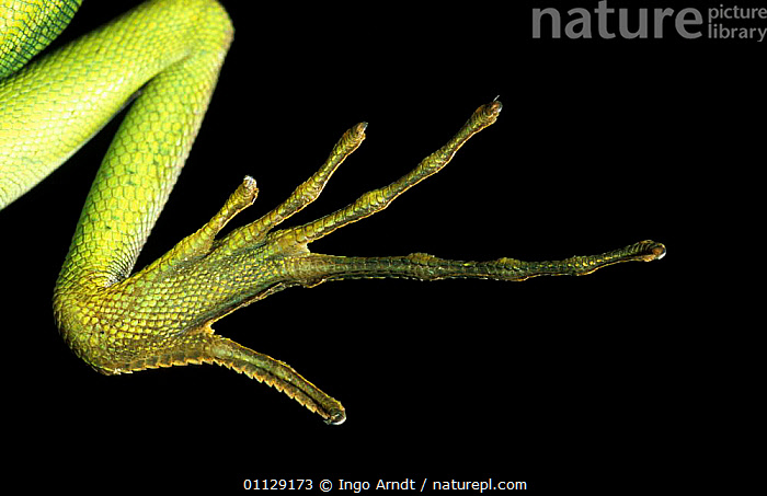 Close up foot of Double crested basilisk {Basiliscus plumifrons}  ,  LIZARDS,TOES,REPTILES,CAPTIVE,CLOSE UPS,CRYPTIC,FEET,Catalogue1,,Lizards,,,Lizards,  ,  Ingo Arndt