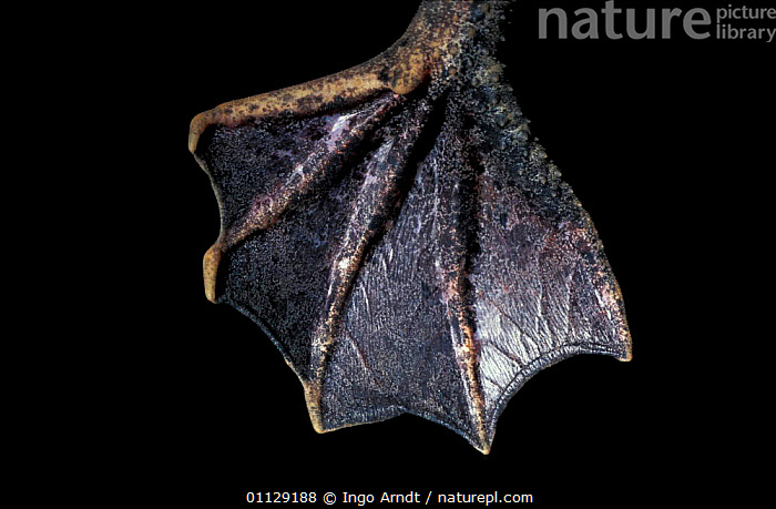 Close up of webbed foot of Surinam toad {Pipa pipa}  ,  FEET,CRYPTIC,CLOSE UPS,CAPTIVE,AMPHIBIANS,TOADS,Anura,SOUTH-AMERICA,Catalogue1  ,  Ingo Arndt