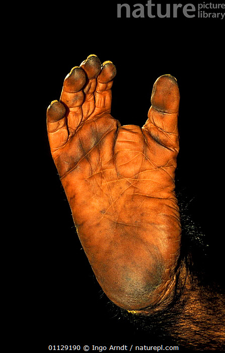 Close up of foot of Chimpanzee {Pan troglodytes}  note opposable toe  ,  DIGITS,FEET,CLOSE UPS,CAPTIVE,MAMMALS,PRIMATES,OPPOSABLE THUMB,TOES,VERTICAL,Great apes  ,  Ingo Arndt