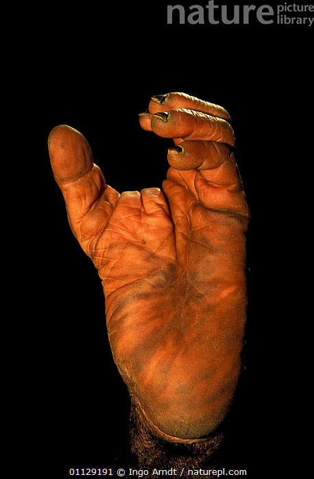 Close up of foot of Chimpanzee {Pan troglodytes} opposable toe  ,  VERTICAL,TOES,PRIMATES,MAMMALS,CAPTIVE,CLOSE UPS,FEET,DIGITS,CRYPTIC,Great apes  ,  Ingo Arndt