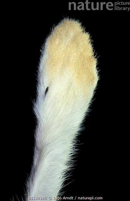 Close up of upper side of foot of Mountain hare {Lepus timidus}, CRYPTIC,FEET,CLOSE UPS,CAPTIVE,MAMMALS,LAGOMORPHS,HARES, Ingo Arndt