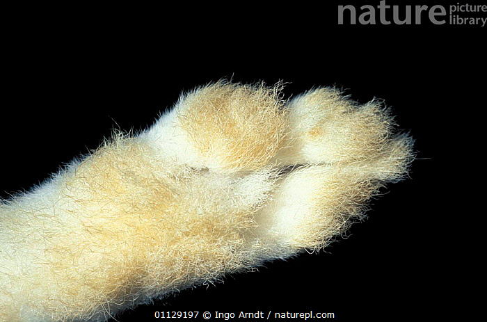 Close up of underside of foot of Mountain hare {Lepus timidus}  ,  HARES,FUR,LAGOMORPHS,MAMMALS,CAPTIVE,CLOSE UPS,FEET,CRYPTIC  ,  Ingo Arndt