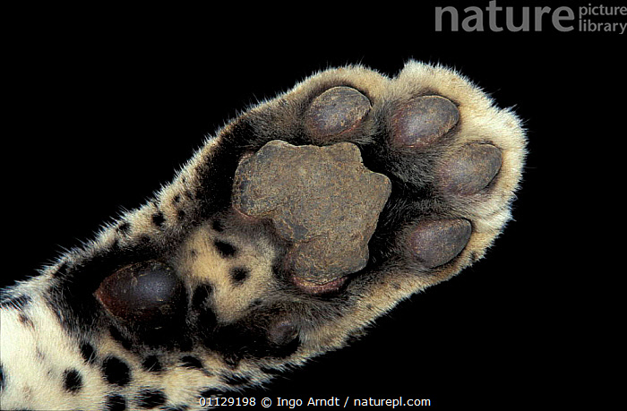 Close up of foot of Leopard {Panthera pardus}  ,  CRYPTIC,FEET,CLOSE UPS,CAPTIVE,CARNIVORES,MAMMALS,PAW,PADS,Leopards,Big Cats  ,  Ingo Arndt