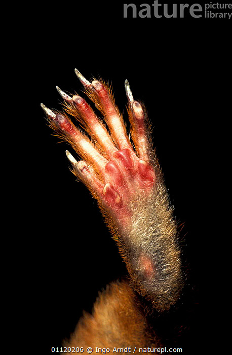 Close up of foot of Red squirrel {Sciurus vulgaris}, CRYPTIC,CLOSE UPS,CLAWS,MAMMALS,FEET,RODENTS,SQUIRRELS,VERTICAL, Ingo Arndt