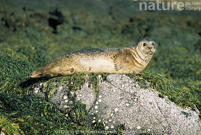 Common seal on seaweed covered rock {Phoca vitulina} West Scotland, UK.  ,  PINNIPEDS,SEAWEEDS,UK,COASTS,LITTORAL,SEALS,MAMMALS,EUROPE,United Kingdom,Intertidal,British  ,  Michael Hutchinson