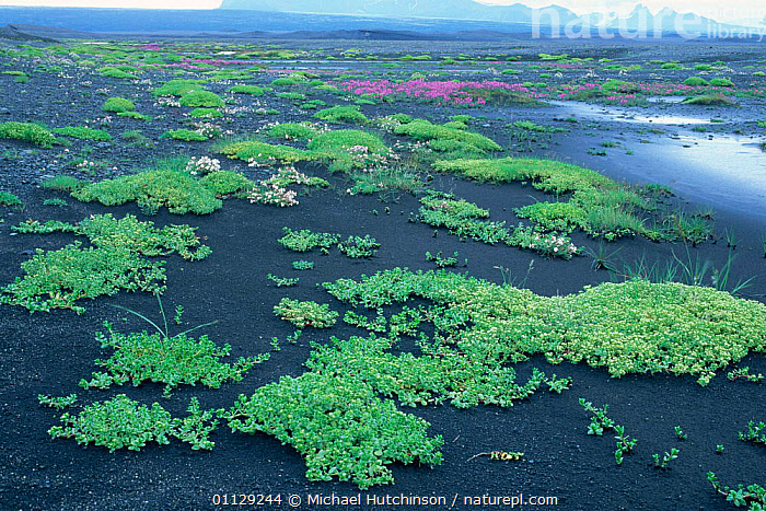 Plants growing on glacial deposits (Sandur) South Iceland, LANDSCAPE,LANDSCAPES,COLONISATION,Europe, Michael Hutchinson