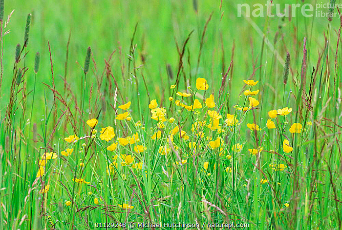 Buttercup flowering in meadow {Ranunculus acris} Skaftafell NP, Iceland  ,  PLANTS,BUTTERCUPS,MEADOWLAND,EUROPE,GRASSES,FLOWERS,Grassland  ,  Michael Hutchinson