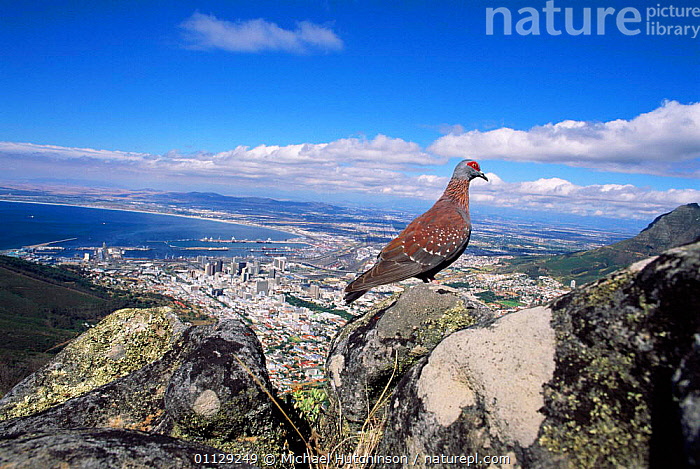 Speckled / Rock pigeon {Columba guinea} overlooking Cape Town, South Africa, HABITAT,BIRDS,CITIES,SOUTHERN AFRICA,LANDSCAPES,PIGEONS,WEST-AFRICA, Michael Hutchinson