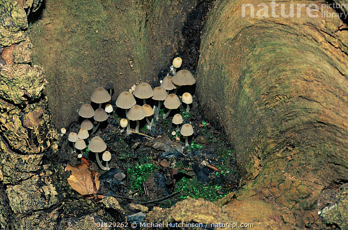 Trooping crumble cap fungi {Coprinus disseminatus} UK. Inkcaps  ,  COPRINACEAE, ENGLAND, EUROPE, FUNGI, FUNGUS, INK-CAP, UK, WOODLANDS,United Kingdom  ,  Michael Hutchinson