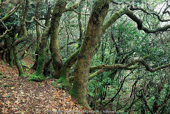 Cloud forest, Tenerife, Canary Is, CANARIES,CLOUDFOREST,LANDSCAPES,WOODLANDS,CANARY ISLANDS, Michael Hutchinson