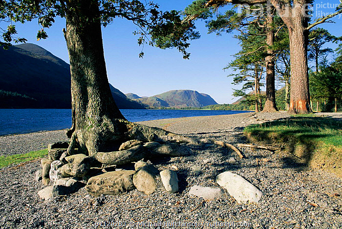 Oak tree and Scots pine on lakeshore, Buttermere, Lake District, Cumbria, UK., EUROPE,LAKES,RESERVE,LANDSCAPES,UK,WATER,United Kingdom,British,ENGLAND, Michael Hutchinson