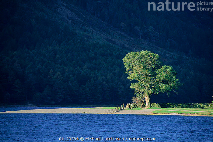 Sunlit tree on lakeshore, Buttermere, Lake District, Cumbria, UK., WATER,SUNLIGHT,SHADOW,RESERVE,LANDSCAPES,TREES,UK,LAKES,EUROPE,ARTY,United Kingdom,Plants,British,ENGLAND, Michael Hutchinson