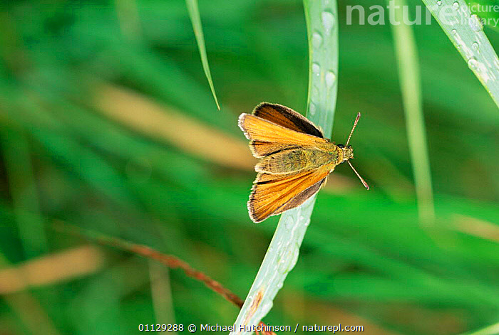 Small skipper butterfly {Thymelicus sylvestris / flavus} UK.  ,  UK,VEERTICAL,INSECTS,LEPIDOPTERA,EUROPE,INVERTEBRATES,FLAVUS,BUTTERFLIES,ENGLAND,United Kingdom,British,CREWS  ,  Michael Hutchinson