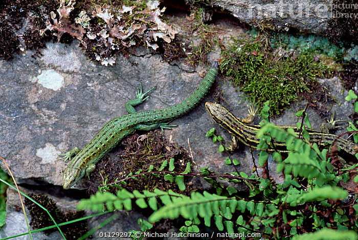 Viviparous lizard, two colour morphs {Lacerta vivipara} Somerset, UK., ENGLAND,DIMORPHISM,EUROPE,LIZARDS,UK,REPTILES,United Kingdom,British, Michael Hutchinson